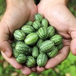 Vesey Seeds Cucalmelon