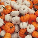 Vesey Seeds Baby Jack Mix Pumpkin