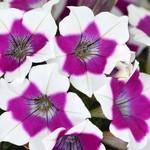 Jolly Farmer Zoom Purple Petunia