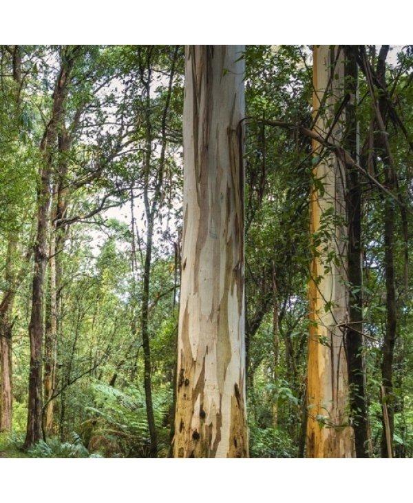 Huile essentielle, Eucalyptus de Smith bio 15 ml