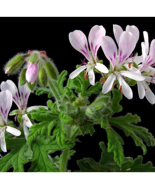 Huile essentielle, géranium bourbon bio, 15ml