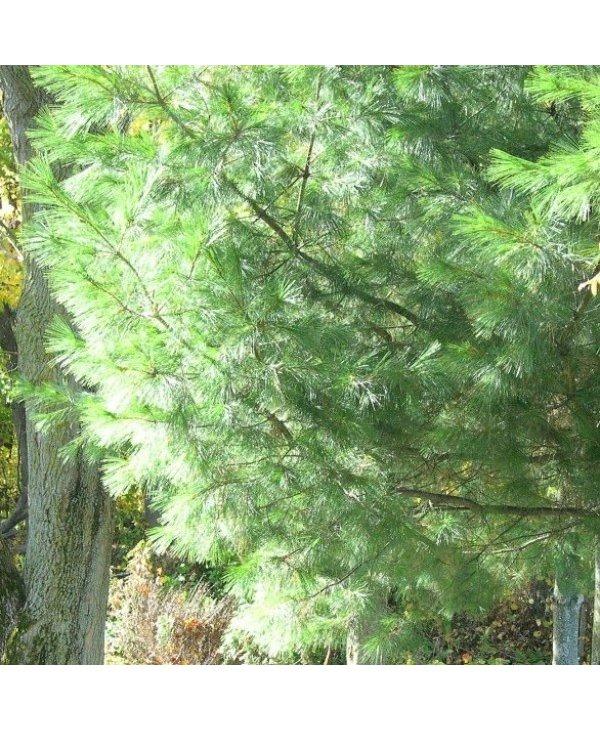 Huile essentielle, pin blanc, 15 ml