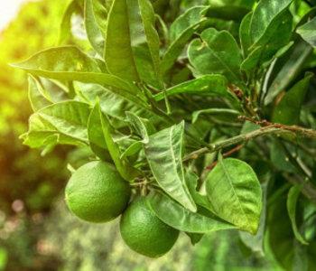 Huile essentielle Lime 15ml
