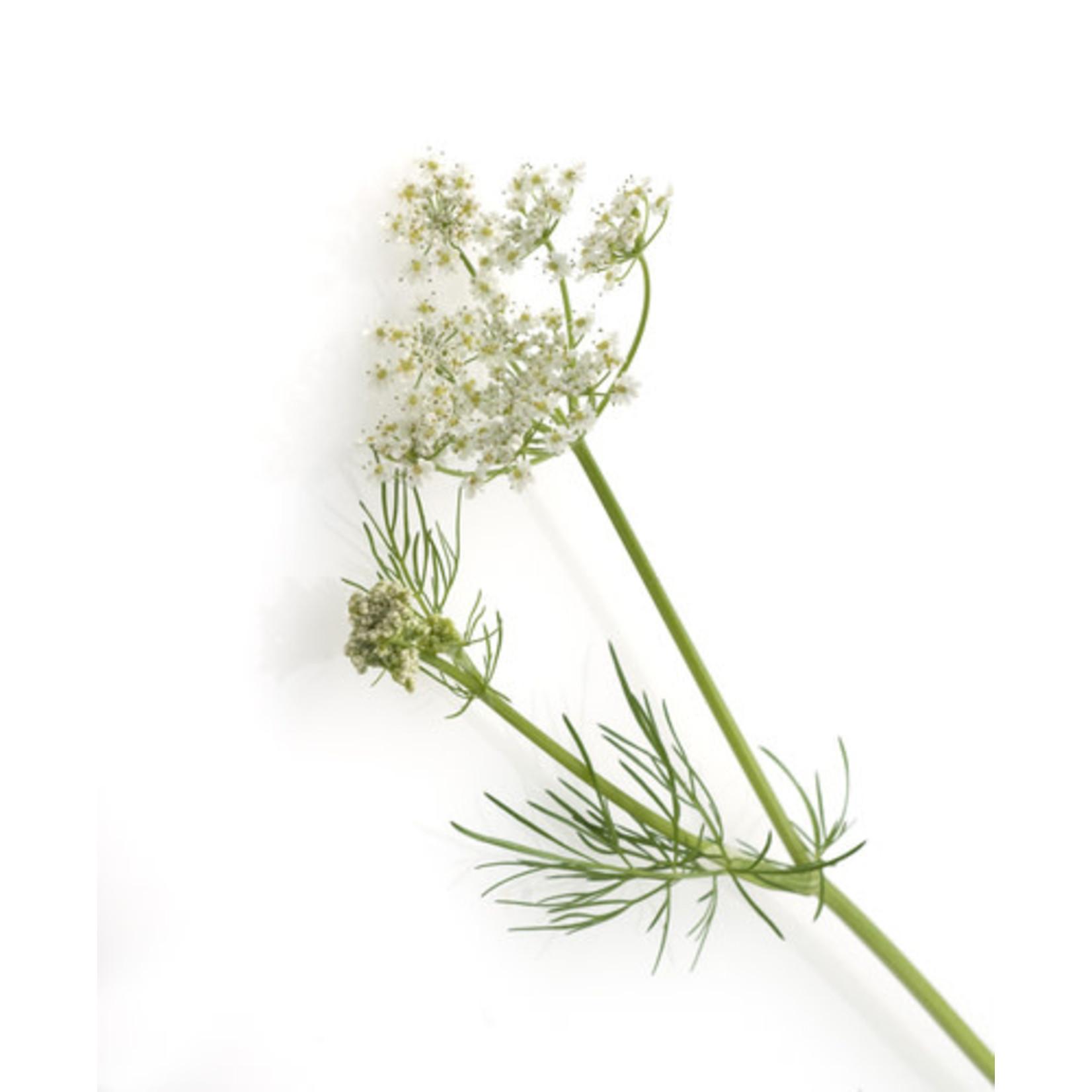 Caraway (seed pkg)