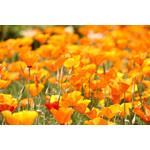 California Poppy (seed pkg)