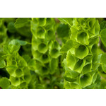 Bells of Ireland (seed pkg) - Green Bells