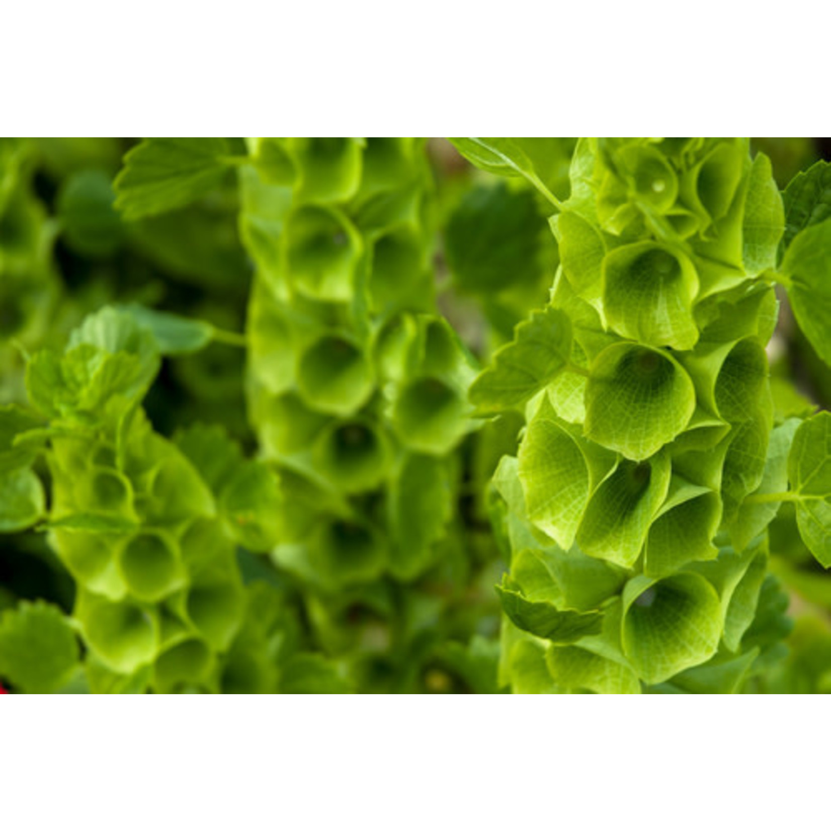 Bells of Ireland (seed pkg) - Green Bells