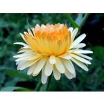 Calendula (seed pkg) - Pacific Beauty Mixed