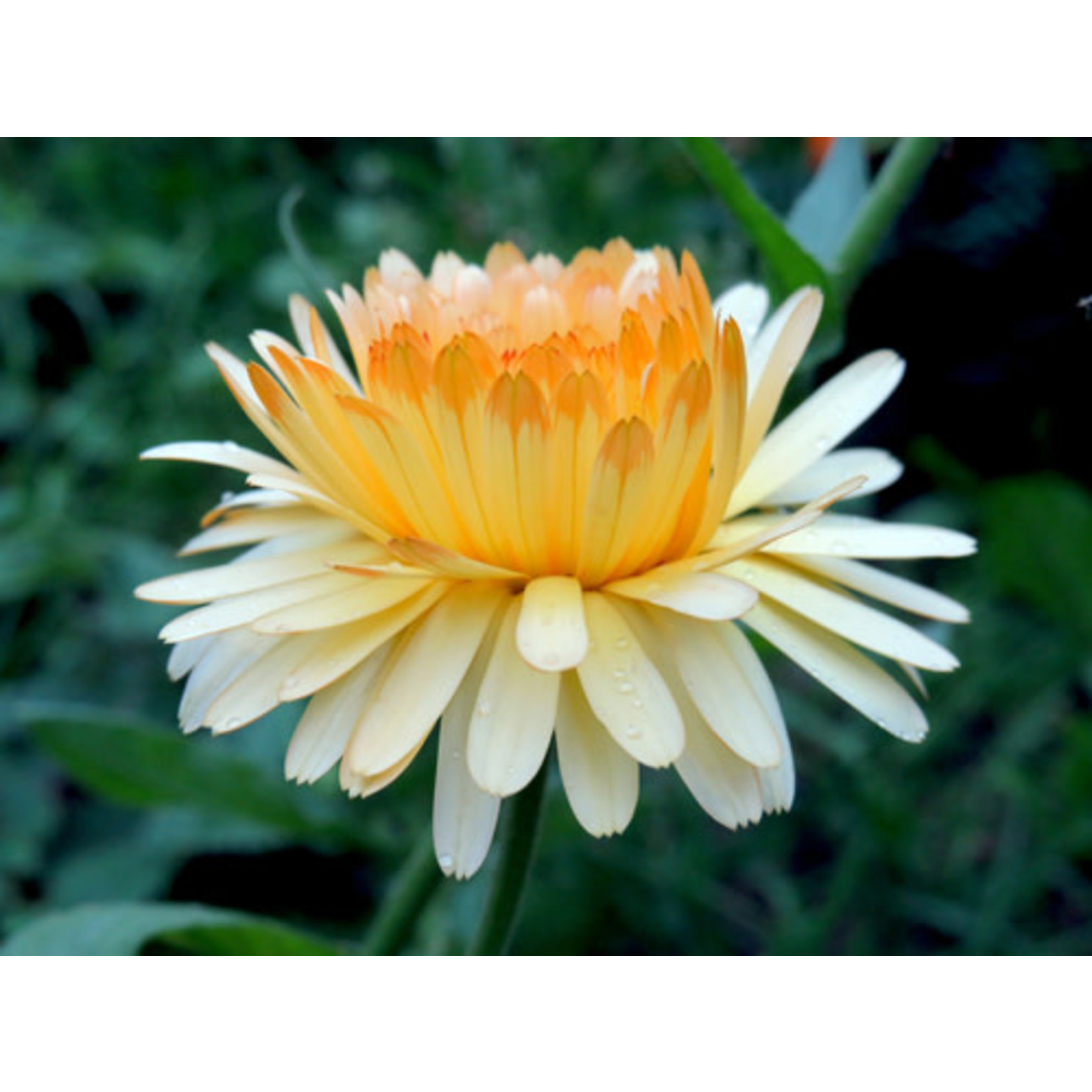 Calendula (seed pkg) - Pacific Beauty Mixed