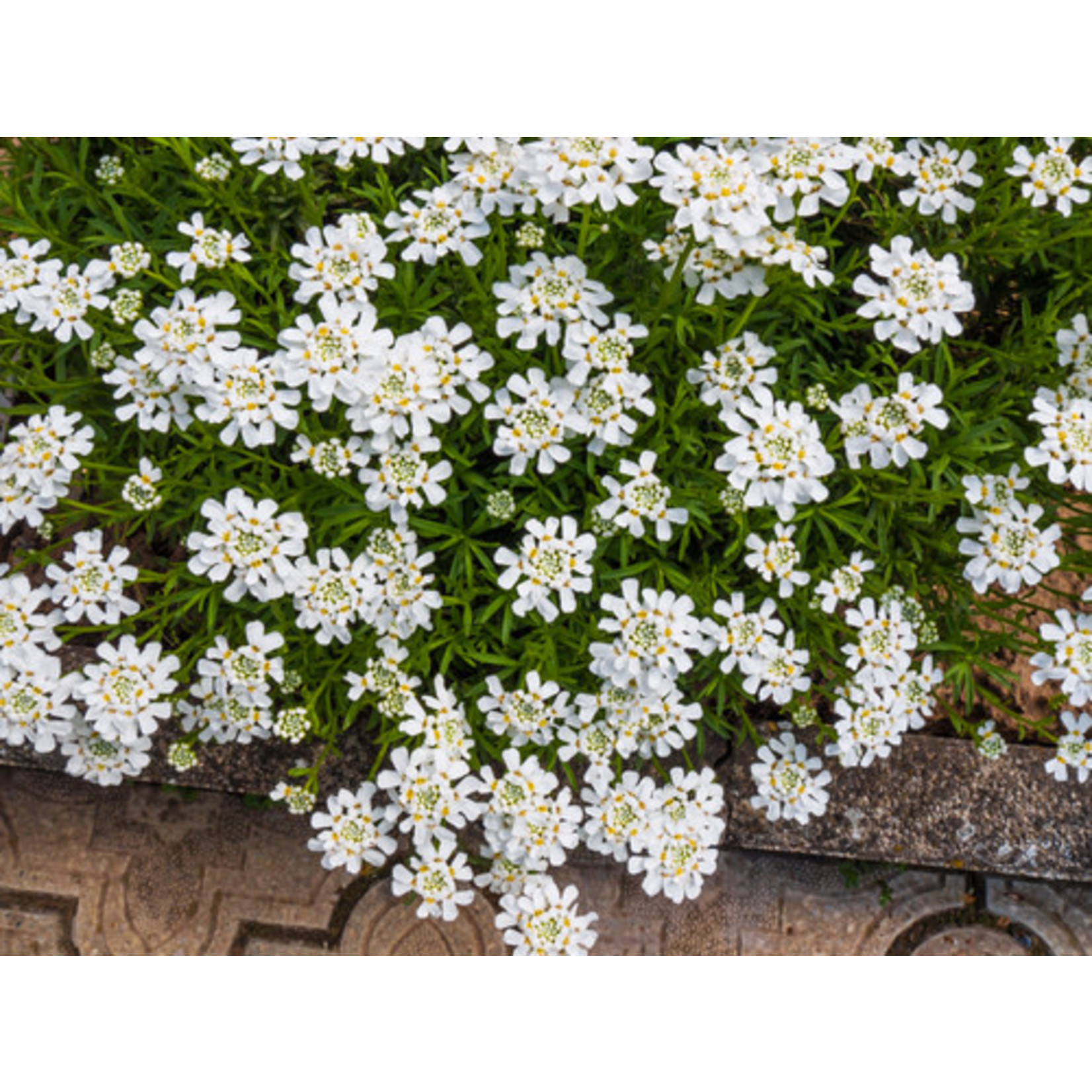 Candytuft (seed pkg) - Fairy Mix