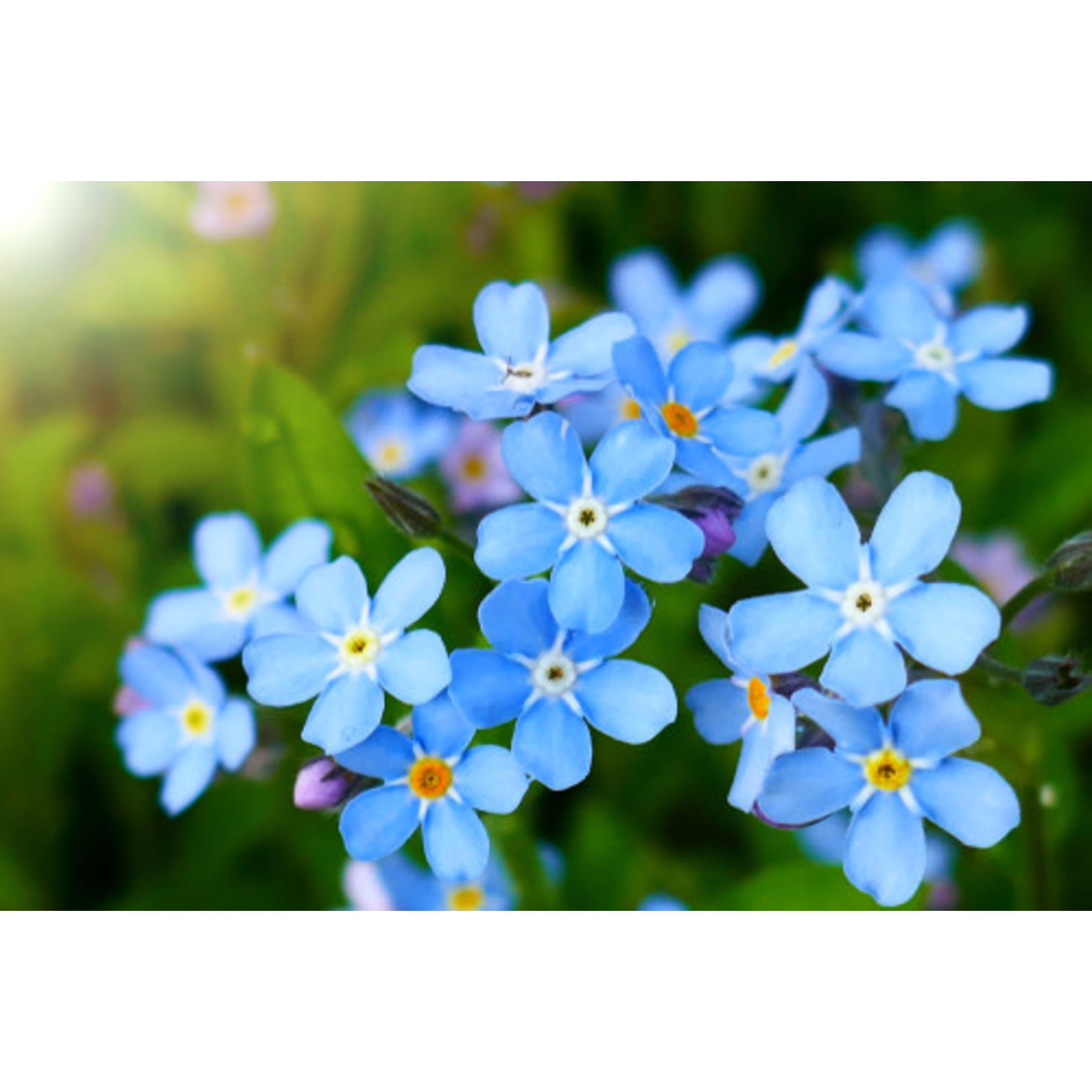 Cynoglossum (seed pkg) - Forget-Me-Not