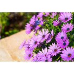 African Daisy (seed pkg) - Aurantica Hybrid