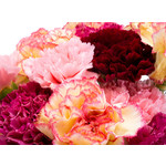 Carnation (seed pkg) - Chabauds