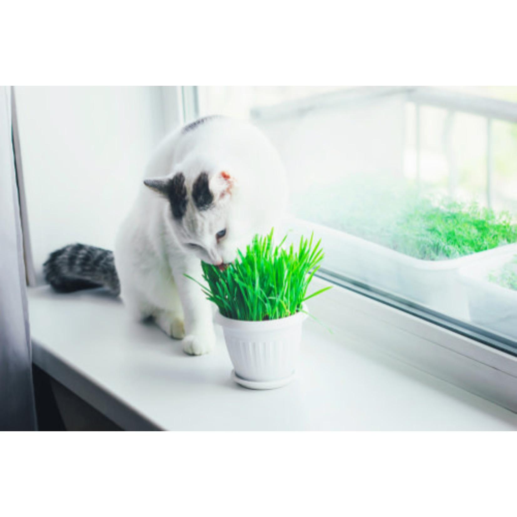 Catgrass (seed pkg) - Common
