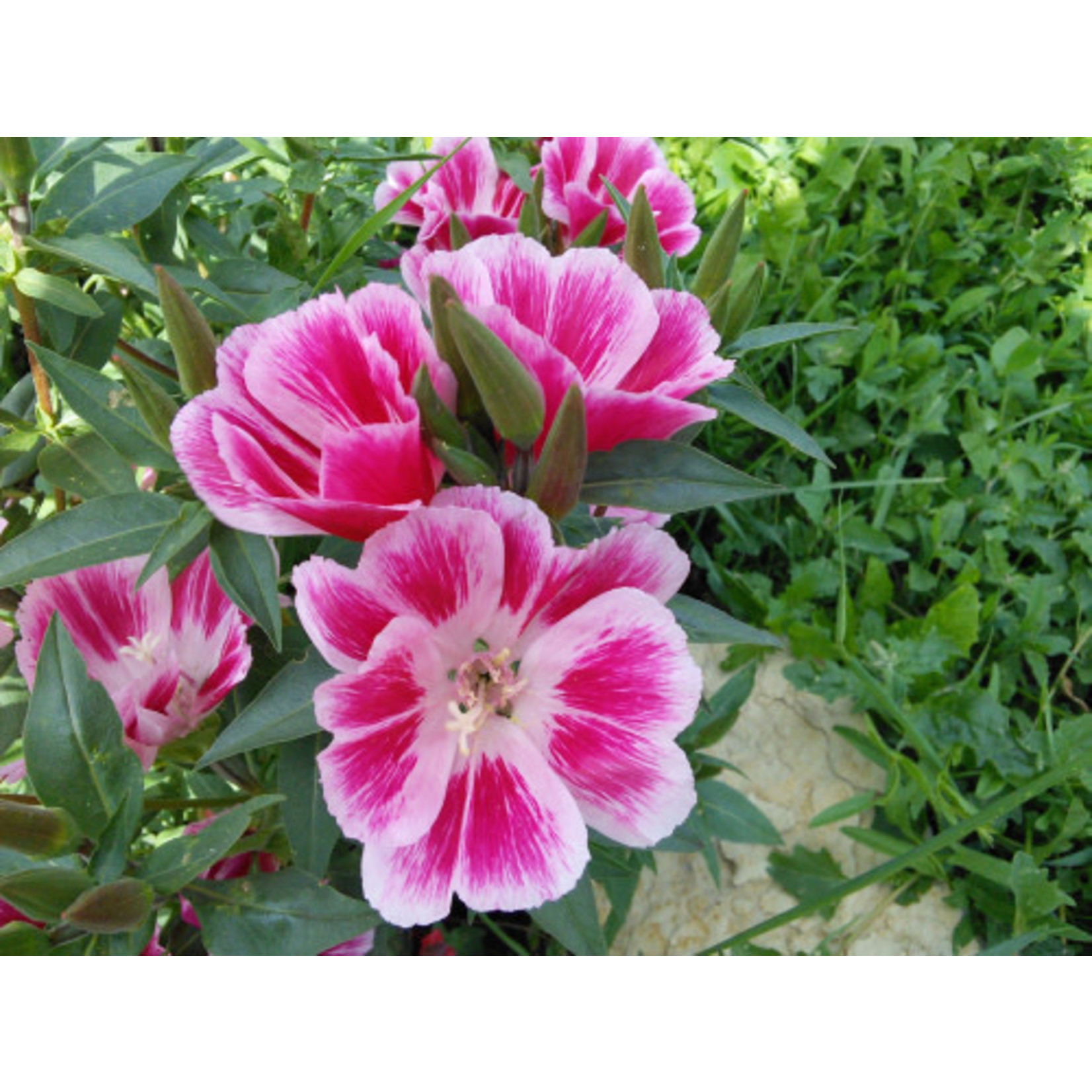 Clarkia (seed pkg) - Double Mix