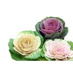 Flowering Cabbage (seed pkg)