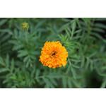 Marigold (seed pkg)