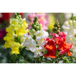Snapdragons (seed pkg) - Panorama Mix