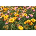 Strawflower (seed pkg) - Mixed Colours