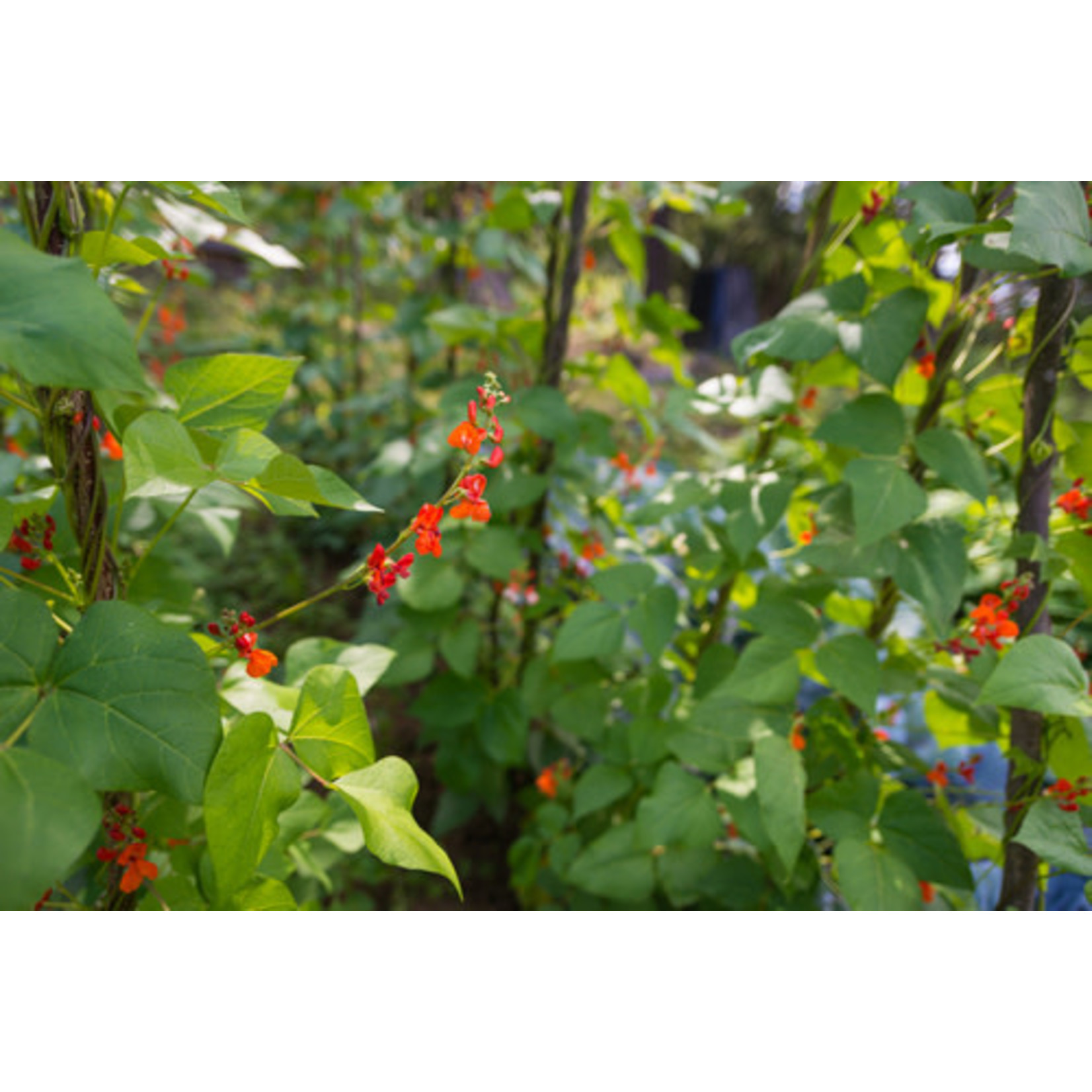 Flowering Pole Bean (seed pkg) - Scarlet Runner