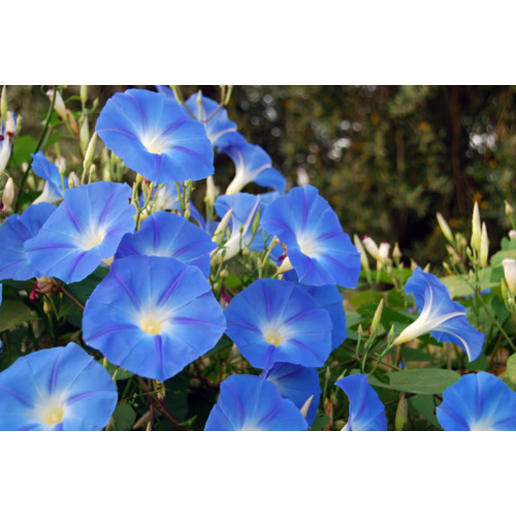 Morning Glory (seed pkg)