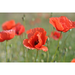 Poppy (seed pkg)