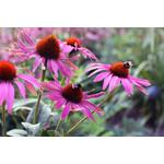 Coneflower (seed pkg) - Purple
