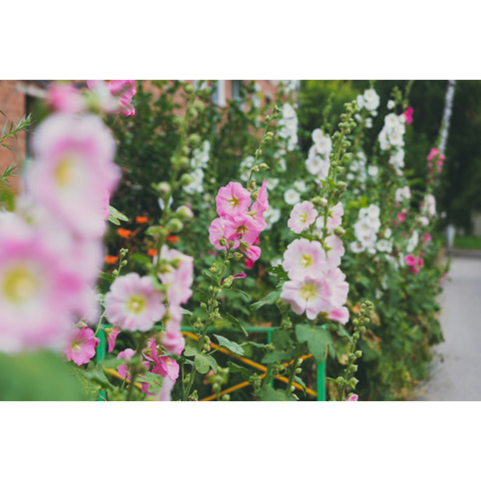 Hollyhocks (seed pkg) - Chaters Double Mix
