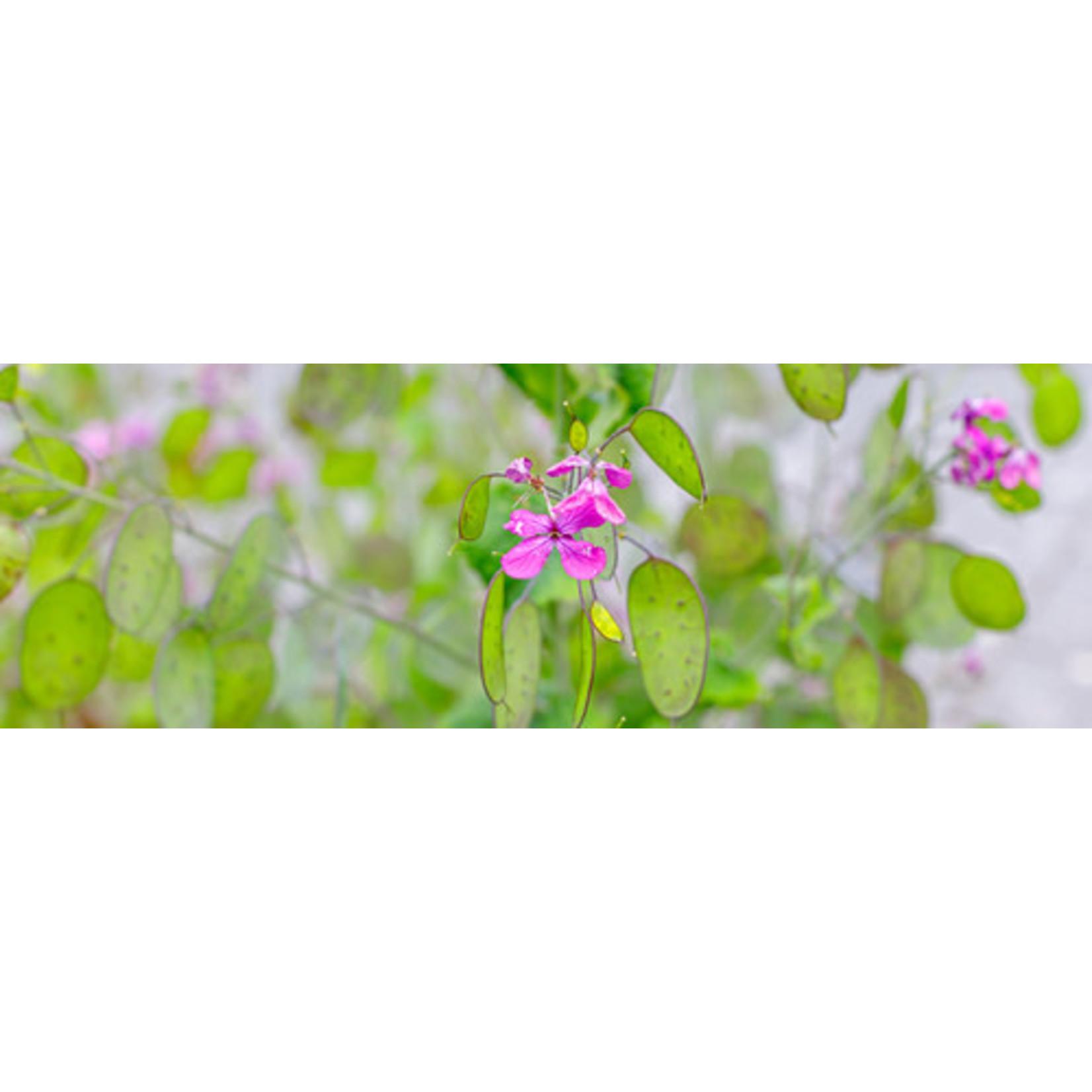 Honesty (seed pkg) - Lunaria Biennis Alba