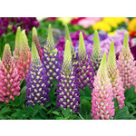 Lupins (seed pkg) - Russell's Mixed
