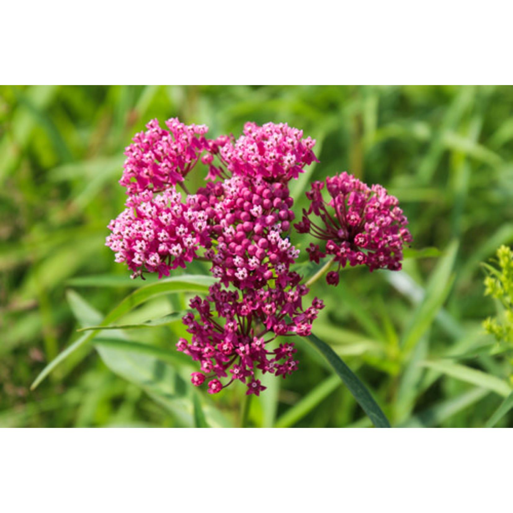 Milkweed (seed pkg) - Common