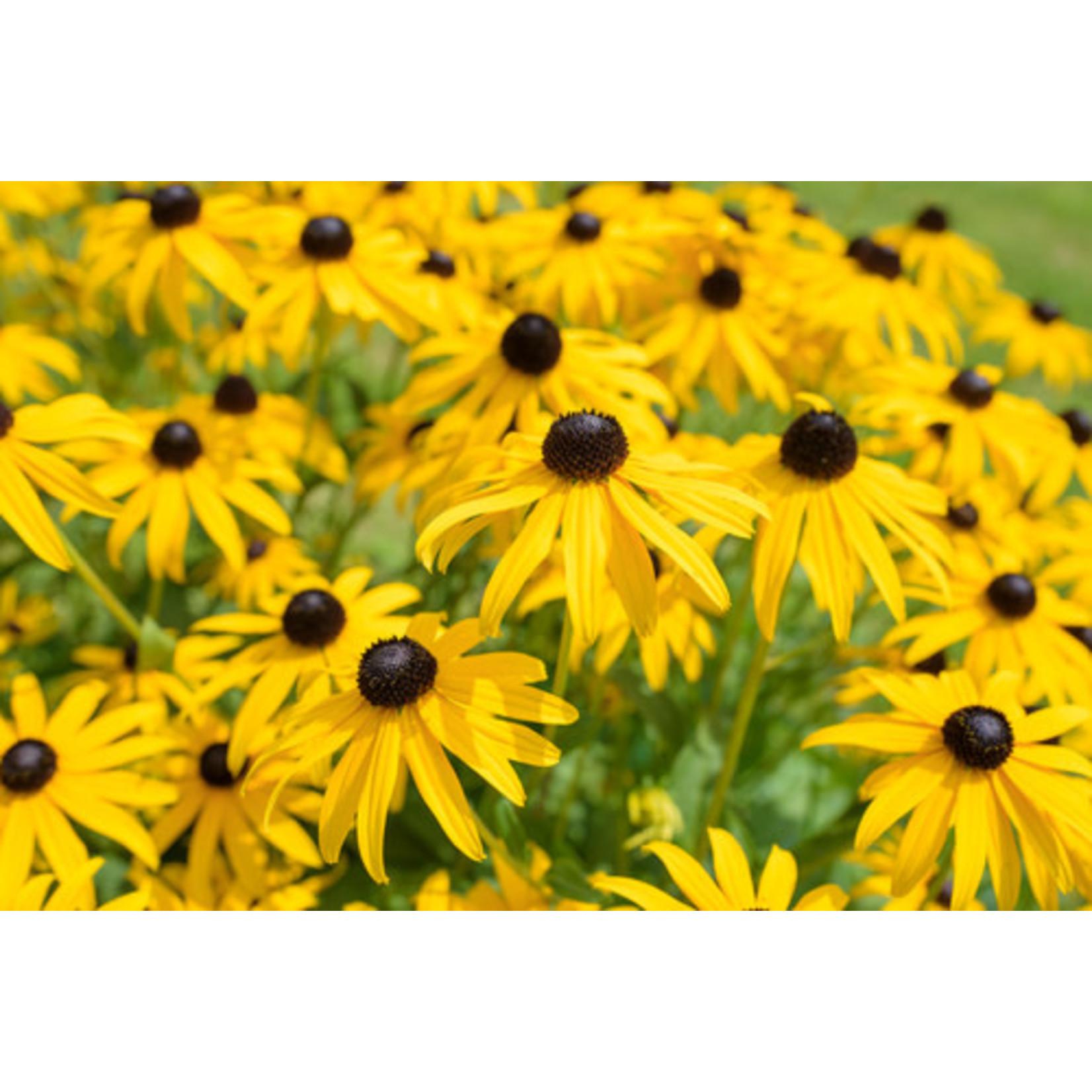 Rudbeckia (seed pkg) - Black Eyed Susan