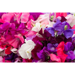 Sweet Pea (seed pkg) - Hardy everlasting Mixed Colours