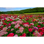 Sweet William (seed pkg) - Double Mixture