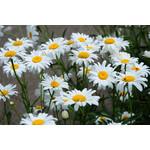 Daisies (seed pkg)
