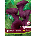 Calla Lilies (bulb pkg) Captain Promise dark purple (1 bulb)