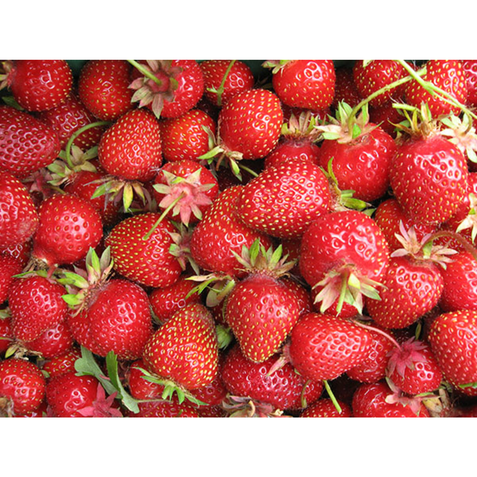 Strawberries (root pkg) - Everbearing Day-Neutral (10 roots)