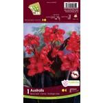 Canna Lilies (bulb pkg) - Novelty Australis Blackleaf (1 bulb)