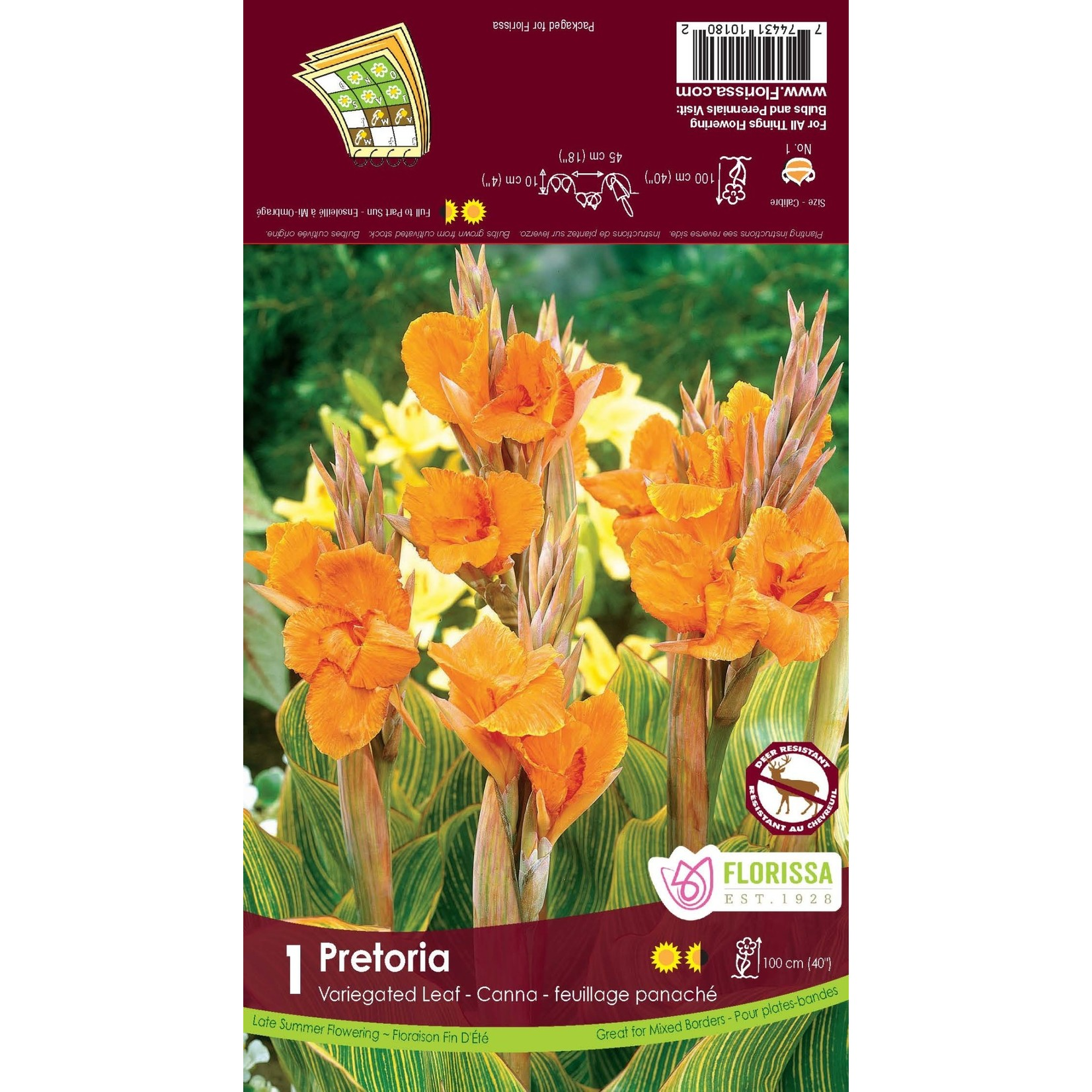 Canna Lilies (bulb pkg) - Variegated Pretoria (1 bulb)