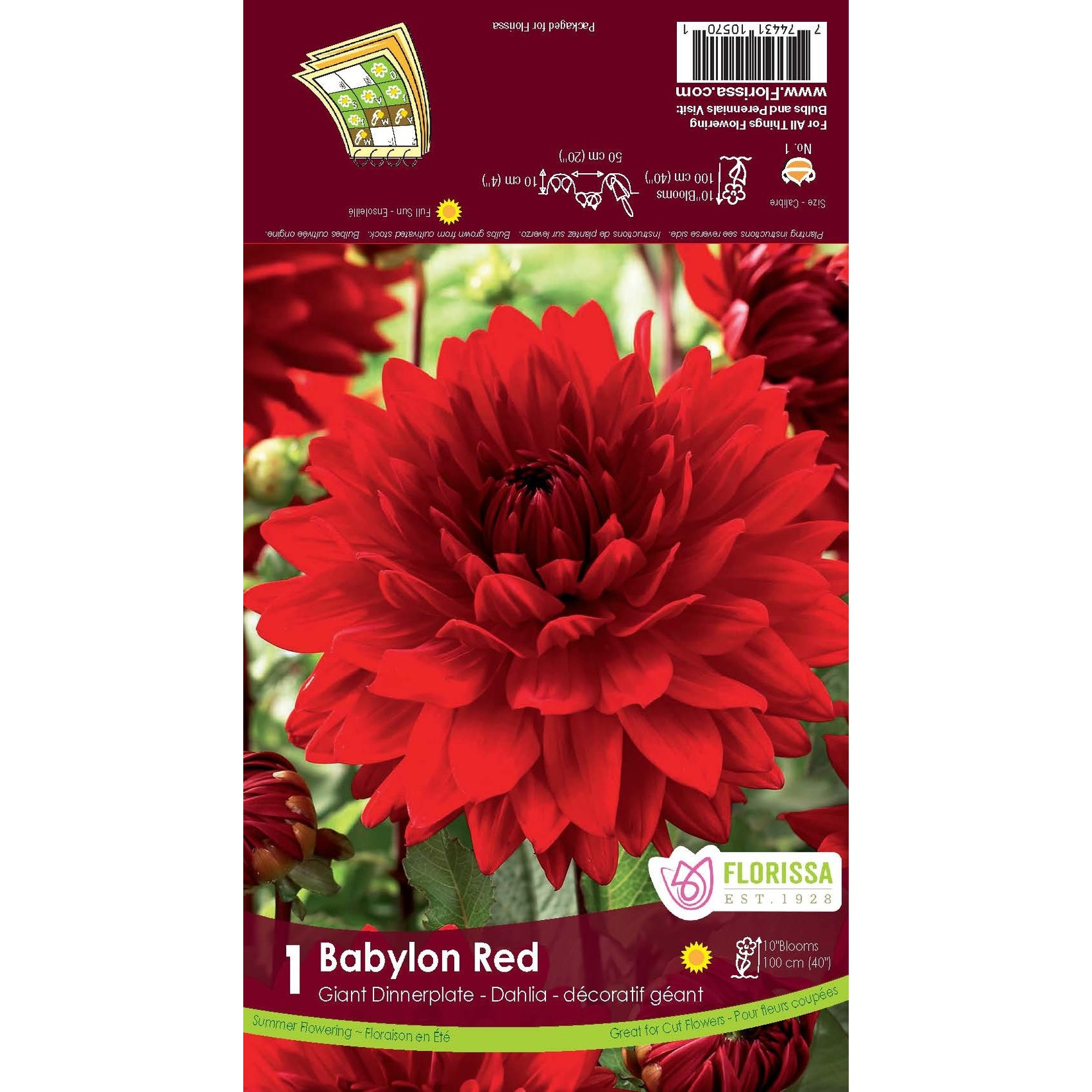 Giant Dinnerplate Dahlia (bulb pkg) Babylon Red (1 bulb)