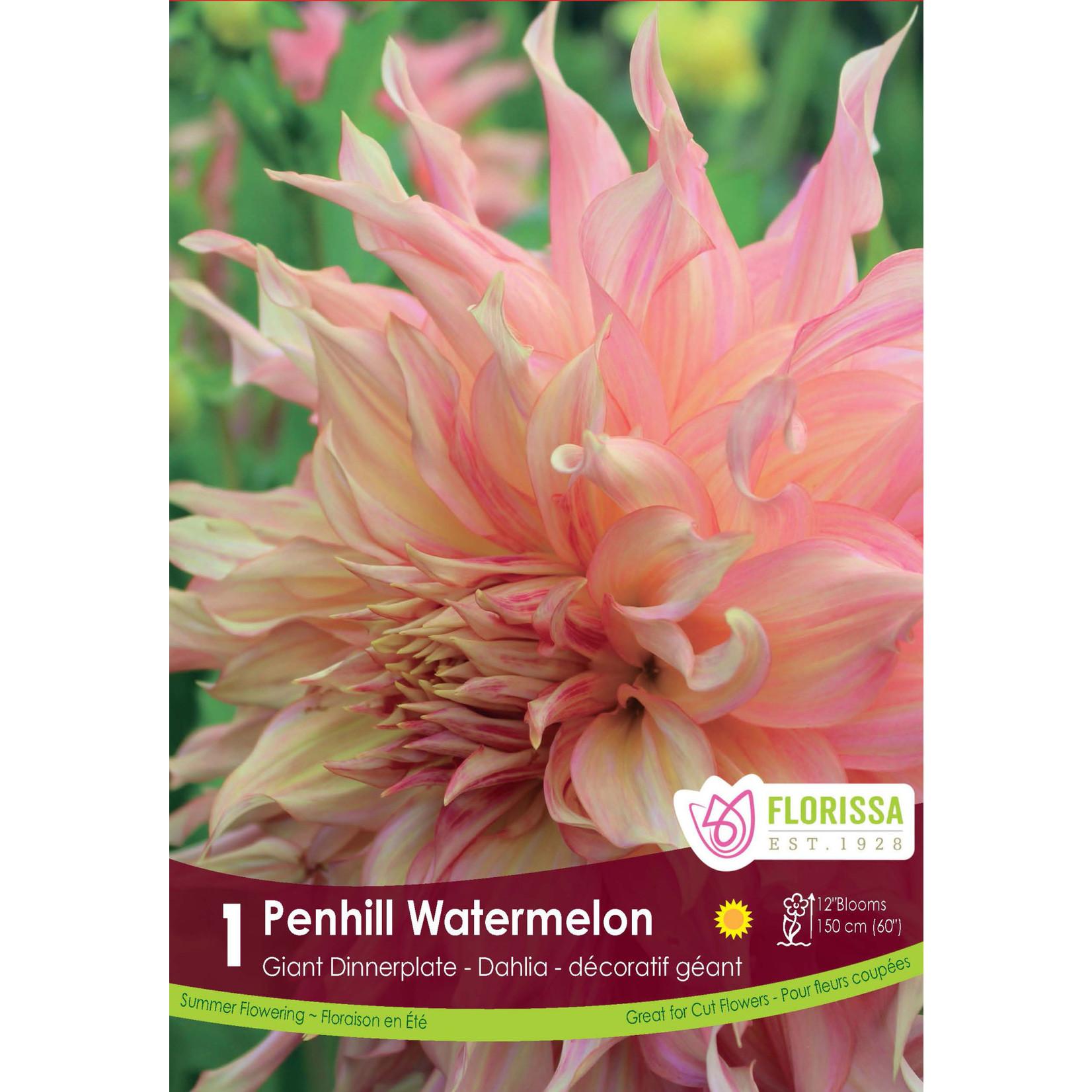 Giant Dinnerplate Dahlia (bulb pkg) Penhill Watermelon (1 bulb)