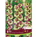Gladiolus (bulb pkg) Novelty Dutch Zita (8 bulbs)