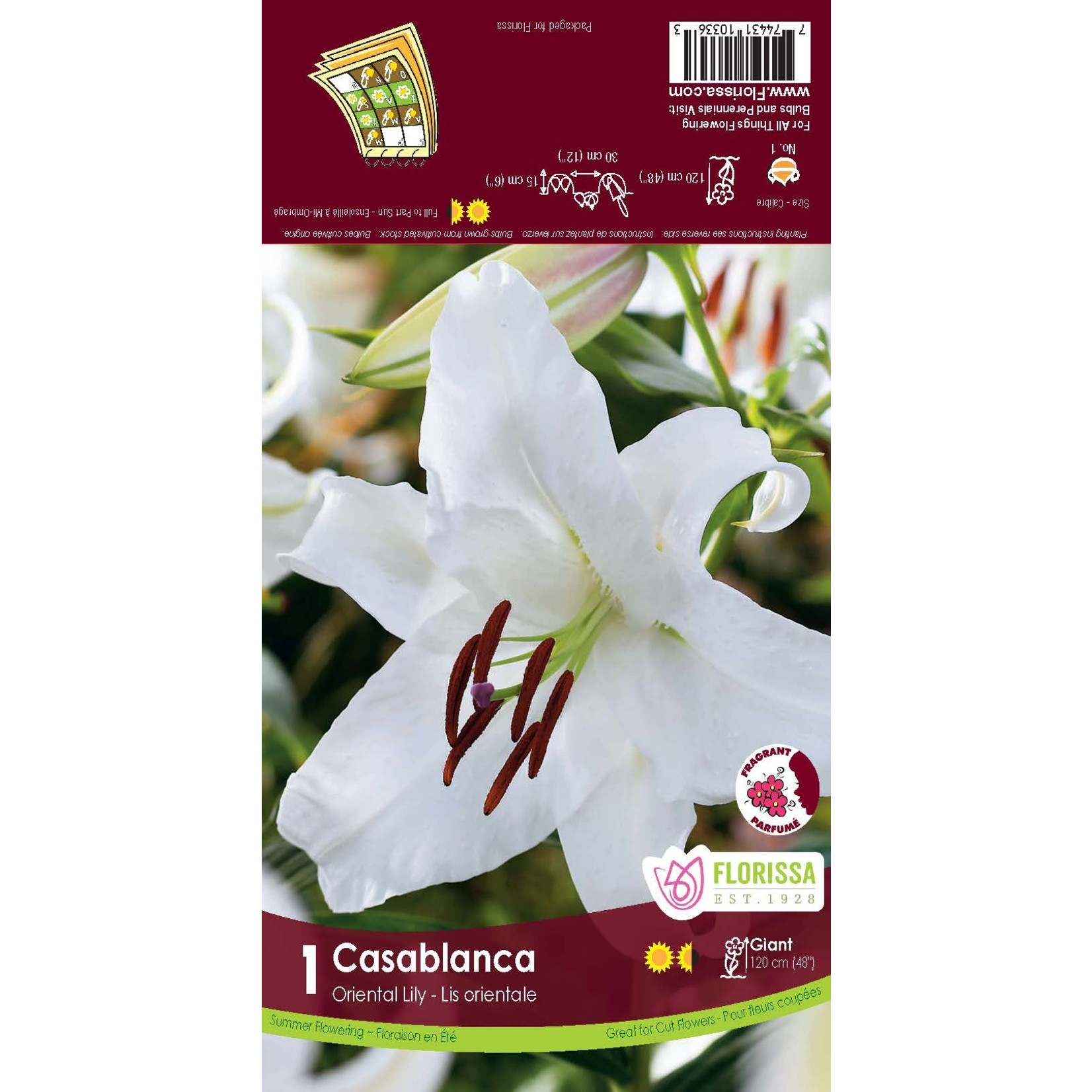 Lily (root pkg) Oriental Casablanca (1 root)