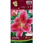 Lily (root pkg) Oriental Stargazer (1 root)