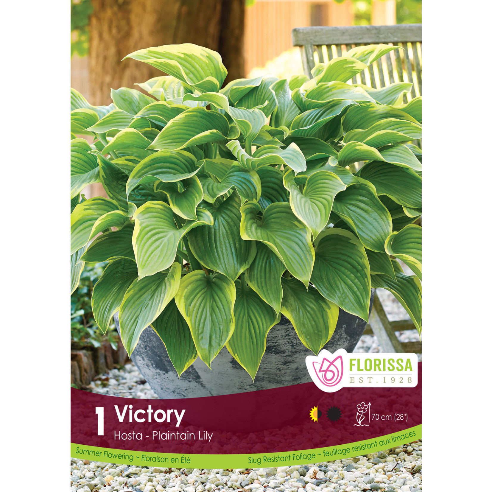 Hosta (root pkg) Victory (1 root)
