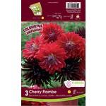 Dahlia (bulb pkg) Cherry Flambe (3 bulbs)