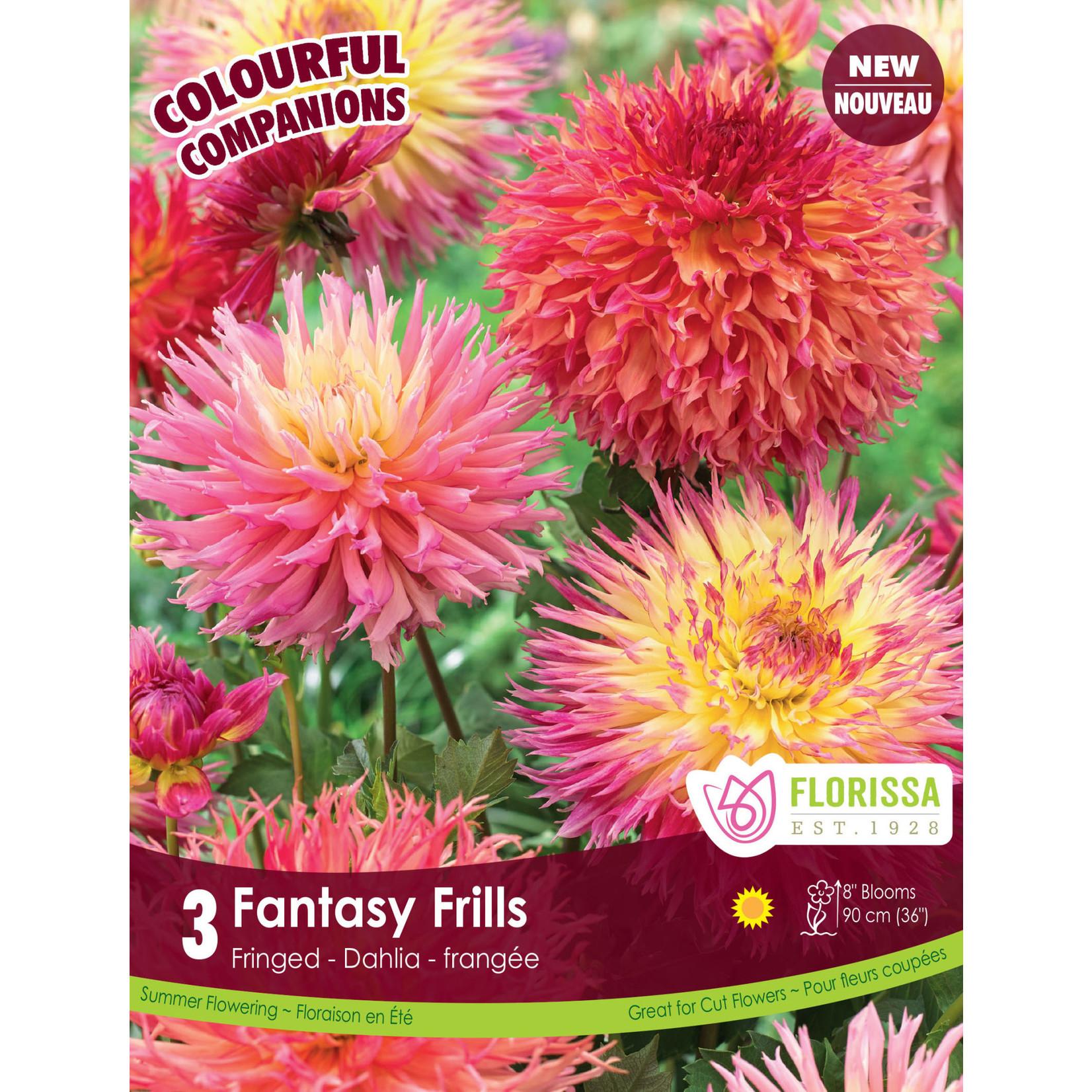 Dahlia (bulb pkg) Fantasy Frills (3 bulbs)