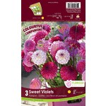 Dahlia Pompon Mix (bulb pkg) Sweet Violets (3 bulbs)