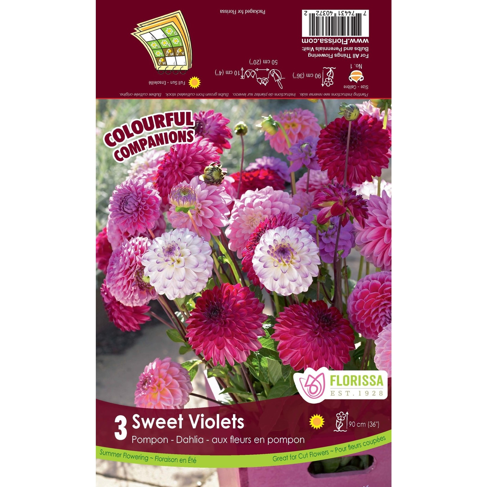Dahlia Pompon Mix (bulb pkg) Sweet Violets (3 bulbs)