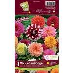 Dahlia (bulb pkg) Dinnerplate Mix (4 bulbs)